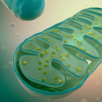 The Connection Between Mitochondria and Fatigue: Strategies to Help You Feel Better